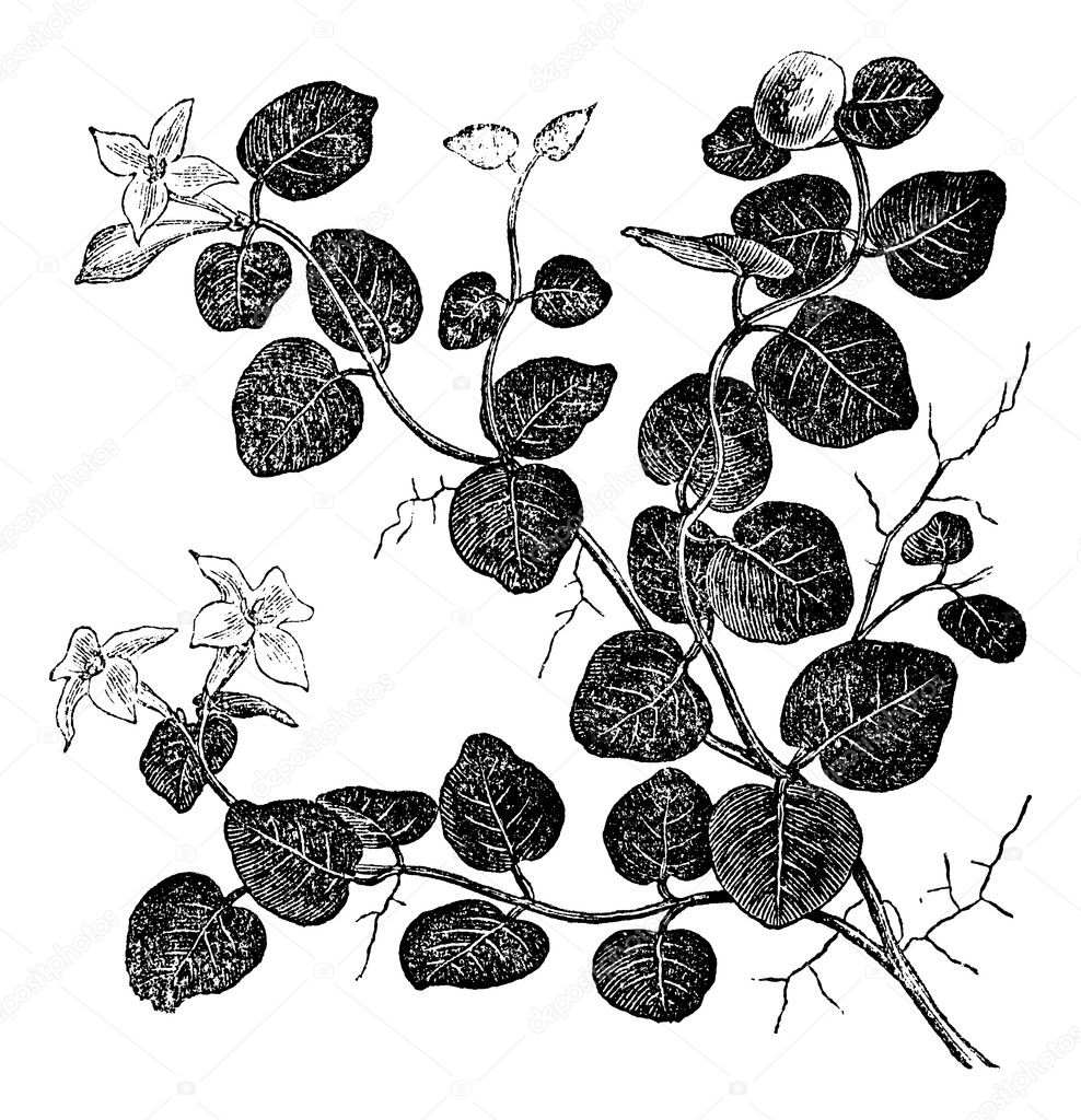 Mitchelle rampant (Mitchell repens), vintage engraved illustration. Trousset encyclopedia (1886 - 1891). — Stock Vector #6754082
