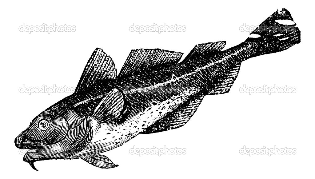 Cod america (morrhua americana), vintage engraved illustration. Trousset encyclopedia (1886 - 1891). — Stock Vector #6754614