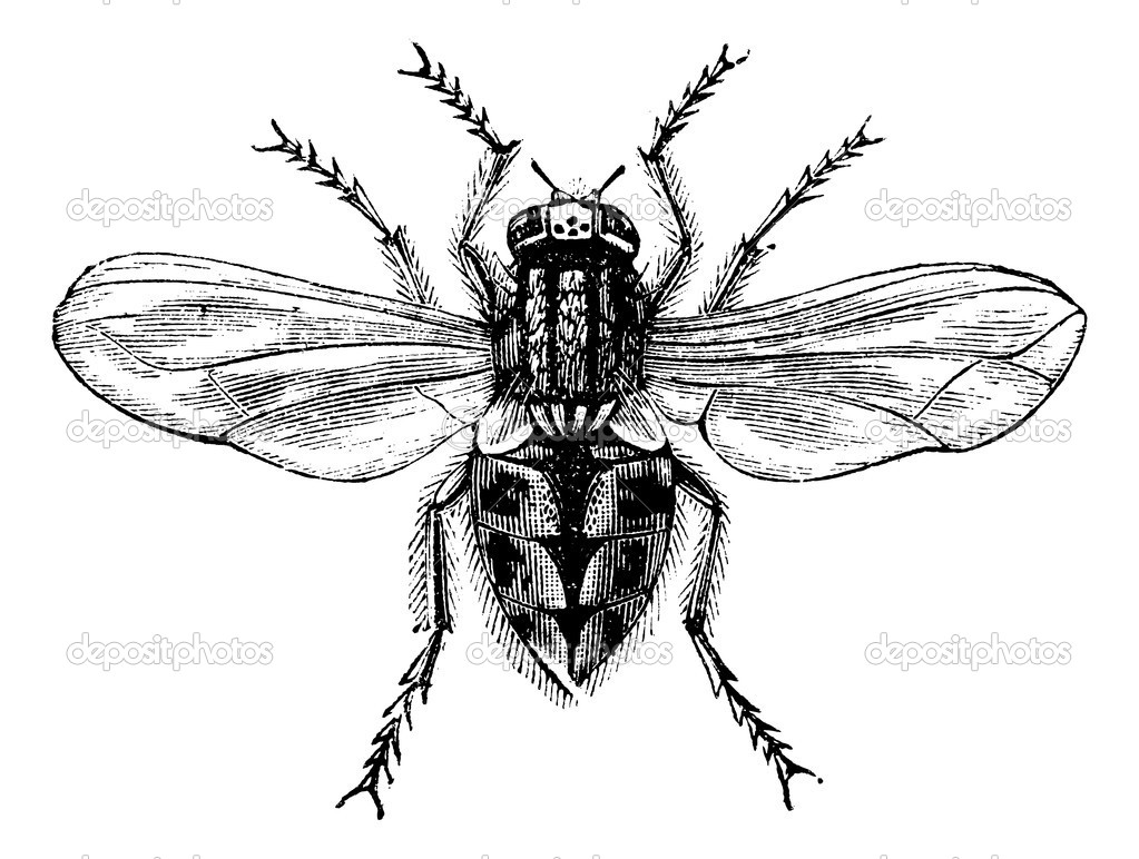 Housefly (Musca domestica) or Common housefly or House-fly, magnified, vintage engraved illustration. Trousset encyclopedia (1886 - 1891). — Stock Vector #6754618