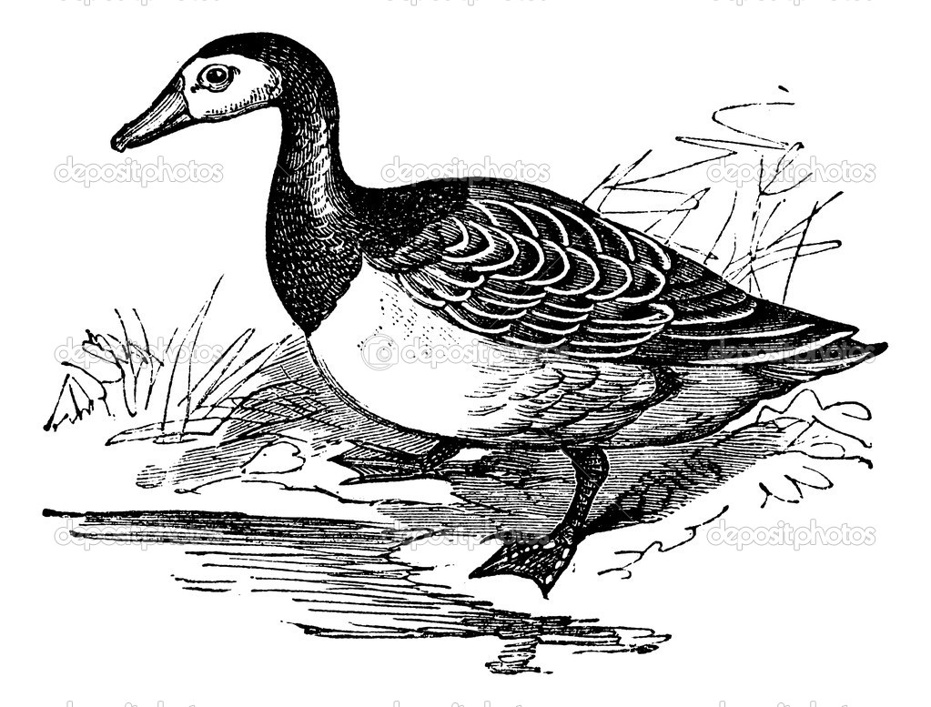 Barnacle goose (Branta leucopsis), vintage engraved illustration. Trousset encyclopedia (1886 - 1891).  Stock Vector #6755474