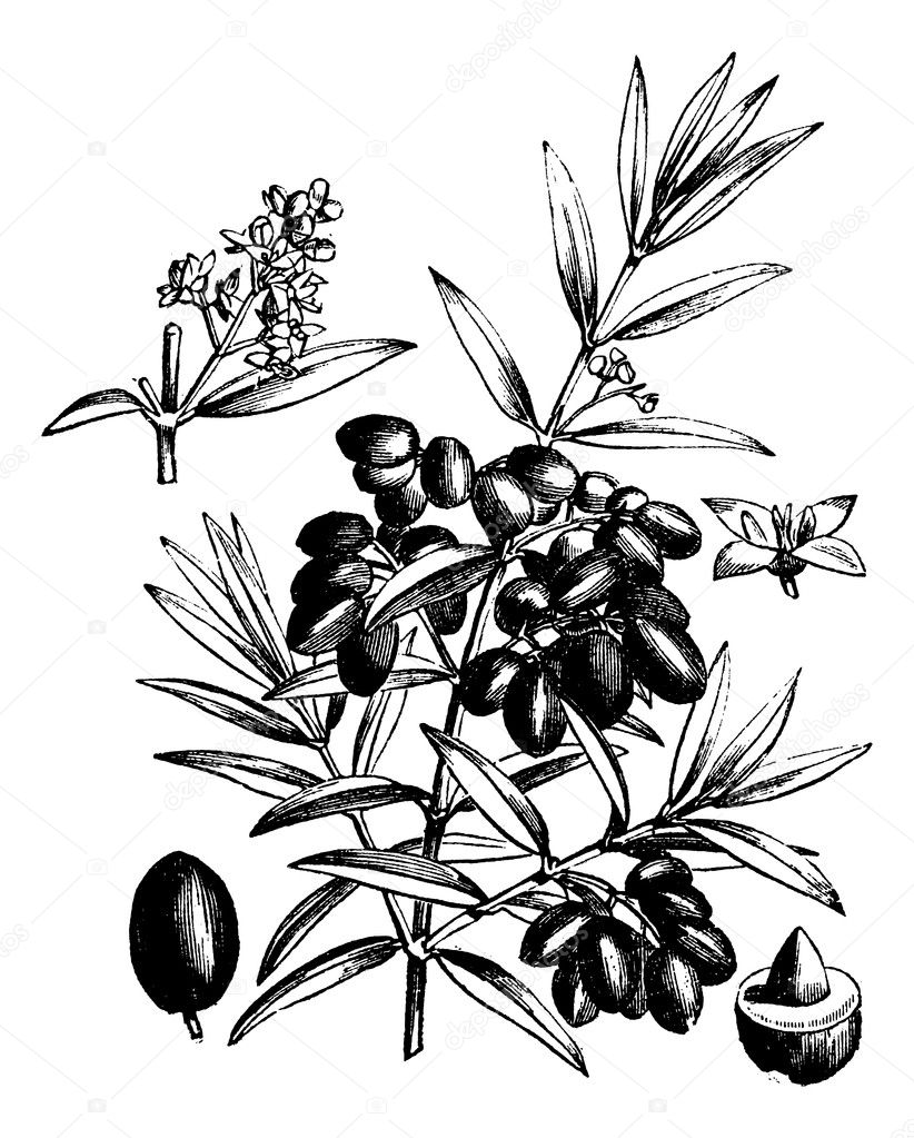 Common olive or Olea Europaea, vintage engraved illustration. Trousset encyclopedia (1886 - 1891). — Stock Vector #6755477