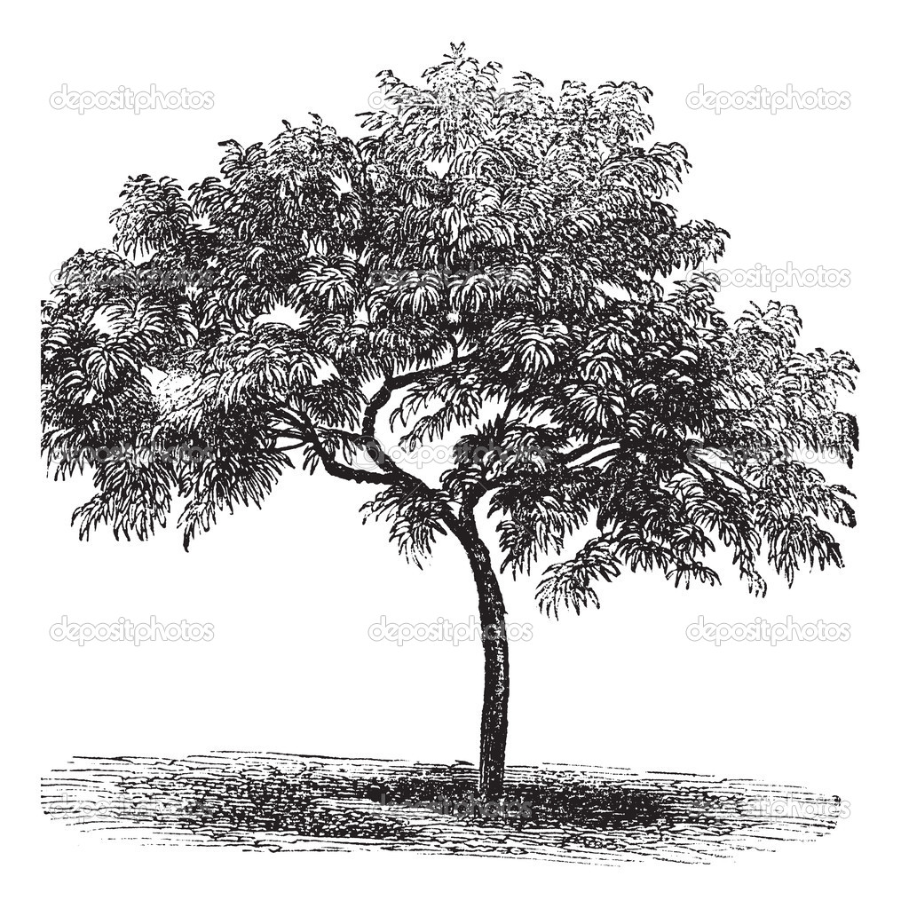 Peach or Prunus persica, vintage engraved illustration. Trousset encyclopedia (1886 - 1891). — Stock Vector #6756342