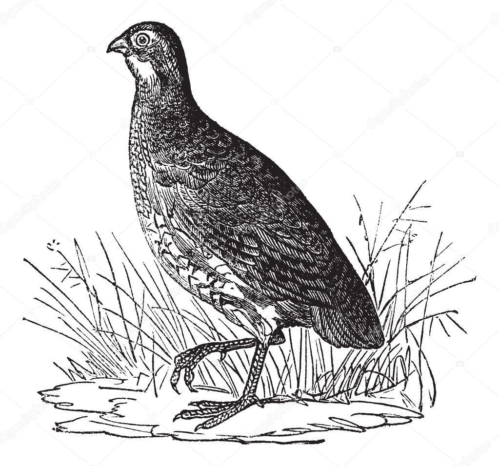 Bobwhite Quail or Northern  Quail Illustration