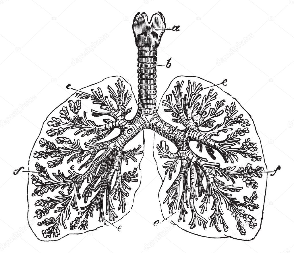 The Lungs Of Man Vintage Engraving  U2014 Stock Vector