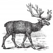 Stock Vector: Reindeer or Rangifer tarandus vintage engraving