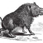 Постер, плакат: Wild boar or Sus scrofa vintage engraving