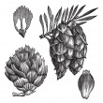 Black Spruce or Picea mariana vintage engraving — Stock Vector #6761027