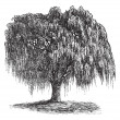 Babylon Willow or Salix babylonica vintage engraving - 图库矢量图片