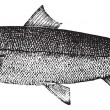 Atlantic salmon or Salmo salar vintage engraving — Image vectorielle