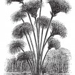Papyrus sedge or Cyperus papyrus vintage engraving — Stock Vector