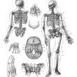 Human skeleton vintage engraving - 图库矢量图片