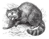 Raccoon or Procyon lotor vintage engraving — Stock Vector