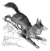 Red Fox or Vulpes vulpes vintage engraving — Stock Vector