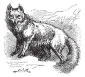 Renard arctique ou vulpes lagopus gravure vintage — Vecteur