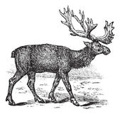 Reindeer or Rangifer tarandus vintage engraving — Stock Vector