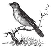 Nightingale or Luscinia megarhynchos vintage engraving — Stock Vector