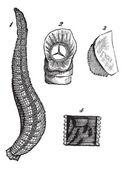 Medicinal leech or Hirudo medicinalis vintage engraving — Stock Vector