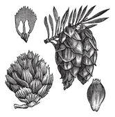 Black Spruce or Picea mariana vintage engraving — Stock Vector