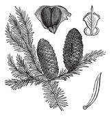 Balsam fir or Abies balsamea vintage engraving — Stock Vector