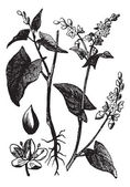 Buckwheat or Fagopyrum esculentum vintage engraving — Stock Vector