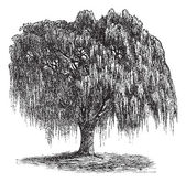 Babylon Willow or Salix babylonica vintage engraving — 图库矢量图片