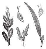 Common Osier or Salix viminalis vintage engraving — Stock Vector
