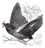 Eastern bluebird or Sialia sialis vintage engraving — Stock Vector