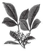 Siphonia elastic or Elastic- gum tree vintage engraving — Stock Vector