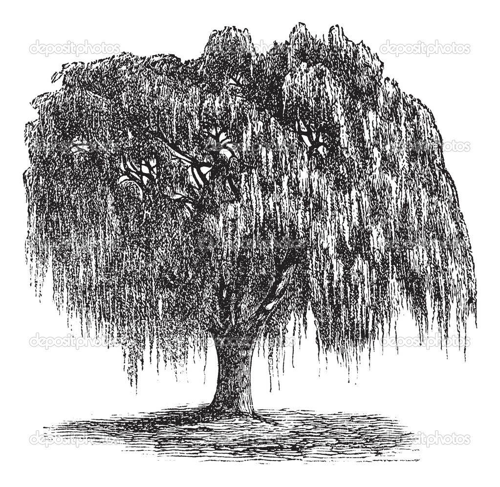 Black and white willow tree pictures babylon willow or salix