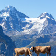 Two cows in the swiss Alps — Stock Photo