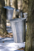 Droplet of sap flowing from the maple tree into a pail for make pure maple — ストック写真