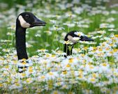 Canadian geese walking through a field of daisies and chrysanthemums — Stock Photo
