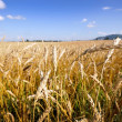 Golden wheat field and blue sky background — Stock Photo