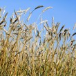 Royalty-Free Stock Photo: Golden wheat field and blue sky background