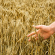 The man's hand touches ripe wheat — Stock Photo