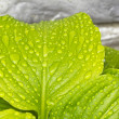 Stock Photo: Summer Leaf