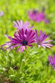African Daisy Flower — Stock Photo