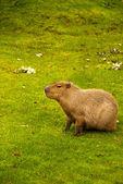Capybara — Stockfoto