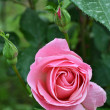 Stock Photo: Pink rose with buds