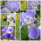 Collage from Iris flowers — Foto Stock