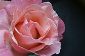 Close-up photograph of rose — Stock Photo