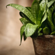 Green home plant  in flower pot — Stock Photo