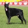 Doberman — Stock Photo #5474906
