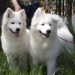 Samoyed Husky — Stock Photo