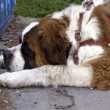 St. Bernard dog — Stock Photo #5475224