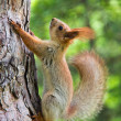 Squirrel - Stock Photo