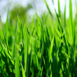 Green grass fild - Stock Photo