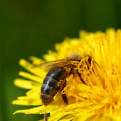 Bee on dandelion — Stockfoto