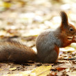Stock Photo: Squirrel in autumn forest