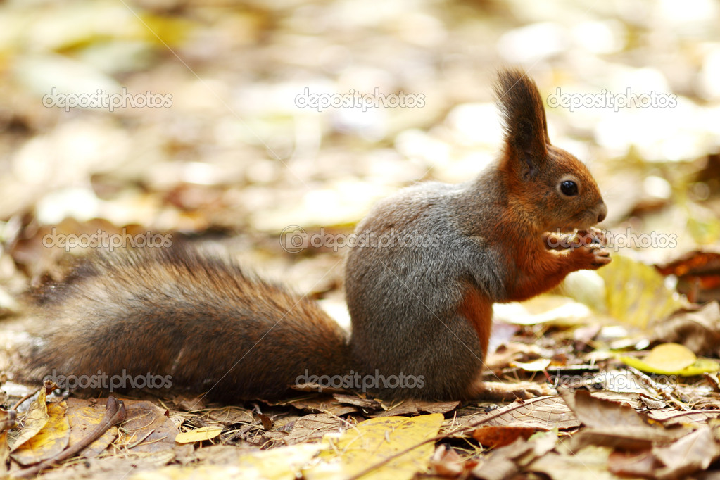 Squirrel in autumn forest macro close up — Stock Photo #6649538